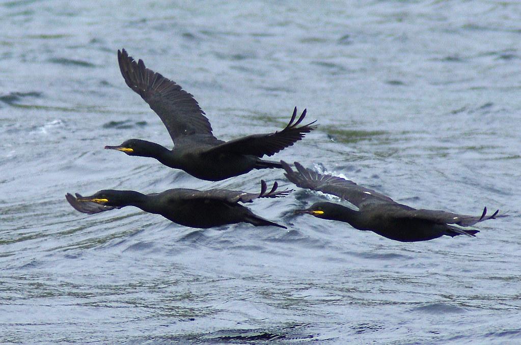 Lombardia: mille cormorani da abbattere