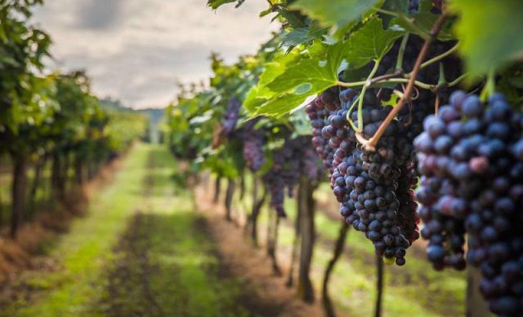 Vino e uva, aziende, frodi su doc